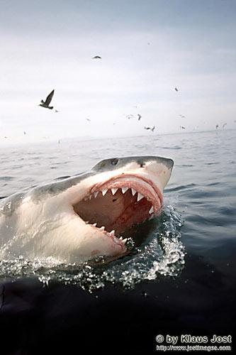 http://www.grandpacliff.com/Animals/Fish/Img-Sharks/shark-greatwhite-pt.jpg