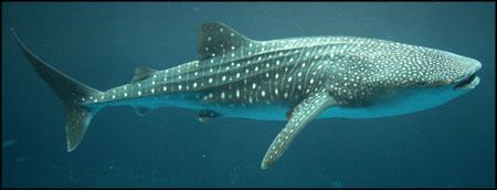 A Whale Shark   Rhincodon Whale Shark Size
